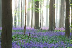 Enchanted pristine spring beech forest with a wild flower carpet of bluebells royalty free stock images