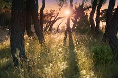 Enchanted Wood - evening light. Evening in an enchanted wood. Towards sun, beautiful shadows on long grass Royalty Free Stock Image