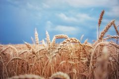 Enchanting the beauty of nature. Blue sky and golden ears of wheat, symbols of the Ukrainian people stock photos