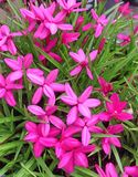 Enchanting bright pink rhodohypoxis baurii flowers Royalty Free Stock Photo