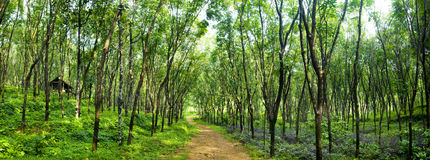 Enchanting Forest Lane Rubber Tree Plantation Concept Royalty Free Stock Images