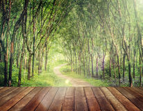 Enchanting Forest Lane in a Rubber Tree Plantation Concept Stock Photography