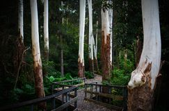 Enchanting pathway and boardwalk through ghostly white eucalyptus tree trunks in a dark forest. Fairytale-like scene of a path and boardwalk through ghostly Stock Photography