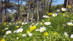 Enchanting Spring - Daisies and Dandelion in the Forest 02. A close up shot of blooming white daisies and yellow dandelion flowers in the enchanting spring stock video