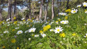 Enchanting Spring - Daisies and Dandelion in the Forest 01. A close up shot of blooming white daisies and yellow dandelion flowers in the enchanting spring stock video footage