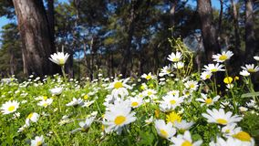 Enchanting Spring - Daisies and Dandelion in the Forest 16. A close up shot of blooming white daisies and yellow dandelion flowers in the enchanting spring stock video footage