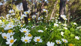 Enchanting Spring - Daisies and Dandelion in the Forest 18. A close up shot of blooming white daisies and yellow dandelion flowers in the enchanting spring stock footage