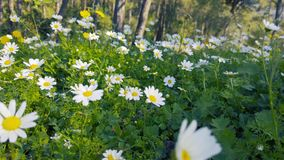 Enchanting Spring - Daisies and Dandelion in the Forest 10 Panning. A panning shot of blooming white daisies and yellow dandelion flowers in the enchanting stock footage