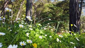 Enchanting Spring - Daisies and Dandelion in the Forest 17. A shot of blooming white daisies and yellow dandelion flowers in the enchanting spring season. The stock footage