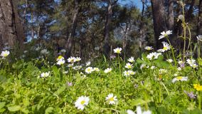 Enchanting Spring - Daisies and Dandelion in the Forest 15. A shot of blooming white daisies and yellow dandelion flowers in the enchanting spring season. The stock footage