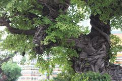 Enchanting tree in Thailand Buddha. An amazingly contorted tree in the grounds of the Grand Palace a very religious and beautiful Palace stock photo