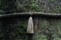 Enchantment. The divine tree with the sacred knot in front of Hakone Shrine Stock Images