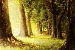 Enciéndase a través de las ranuras de los árboles en el bosque Fotografía de archivo libre de regalías