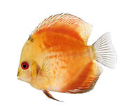 Encienda el disco rojo (pescado) - aequifasciatu de Symphysodon Foto de archivo libre de regalías