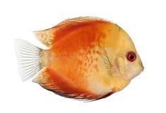Encienda el disco rojo (pescado) - aequifasciatu de Symphysodon Fotos de archivo
