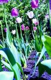 Encima cerca de un jard?n del tulip?n de debajo fotografía de archivo libre de regalías