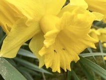 Encima de cierre con un narciso amarillo foto de archivo libre de regalías