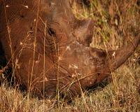 Encima de rinoceronte cercano Foto de archivo libre de regalías