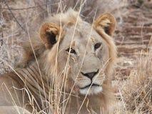 Encima del león cercano Foto de archivo libre de regalías