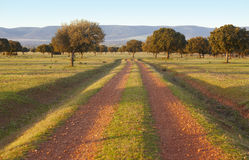 Encinas del roble, ilex en un parque mediterráneo de Cabaneros del bosque, España Foto de archivo libre de regalías