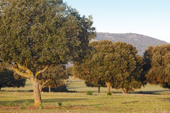 Encinas del roble, ilex en un parque mediterráneo de Cabaneros del bosque, España Foto de archivo