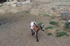 Caprine. In this enclosure, a goat comes to me royalty free stock photography
