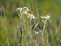 Encombrement d'edelweiss (conglobatum de Leontopodium) photographie stock