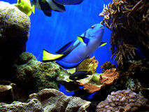 Encontrando o Dory de Nemo Fotos de Stock Royalty Free