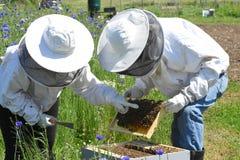Encontrar la abeja reina Fotos de archivo libres de regalías