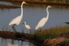 Encontre a família do Egret imagens de stock
