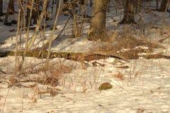 Encontre o galo silvestre de Ruffed Imagem de Stock