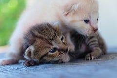 Encontro adorável do gatinho dois Fotografia de Stock Royalty Free