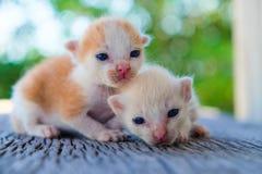 Encontro adorável do gatinho dois Imagens de Stock
