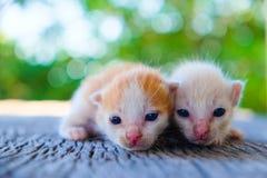 Encontro adorável do gatinho dois Fotos de Stock Royalty Free