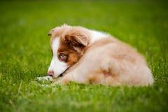 Encontro australiano do pastor do filhote de cachorro novo Imagem de Stock Royalty Free