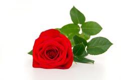 Encontro bonito da rosa do vermelho do Fim-acima Imagem de Stock