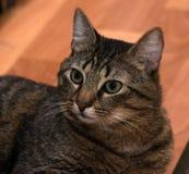 Encontro carnudo do gato de gato malhado Foto de Stock Royalty Free