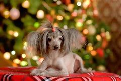 Encontro com crista chinês do cachorrinho do cão Imagens de Stock