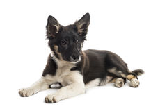 Encontro de border collie Foto de Stock Royalty Free