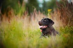 Encontro de Brown Labrador Imagens de Stock