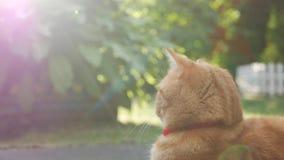 Encontro de descanso do gato vermelho no jardim na grama no por do sol O gato joga a parte externa durante o por do sol No sol 4K video estoque