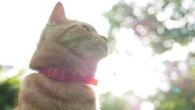 Encontro de descanso do gato vermelho no jardim na grama no por do sol O gato joga a parte externa durante o por do sol No sol 4K vídeos de arquivo