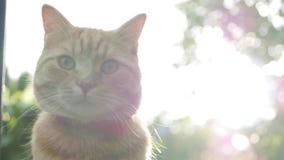 Encontro de descanso do gato vermelho no jardim na grama no por do sol O gato joga a parte externa durante o por do sol No sol 4K filme