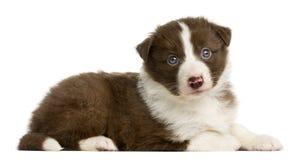 Encontro do cachorrinho de border collie Imagens de Stock Royalty Free