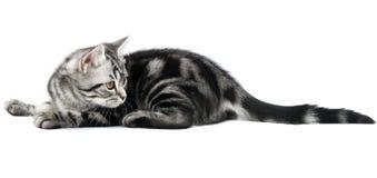 Encontro do gatinho Foto de Stock Royalty Free