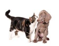 Encontro do gato e do cão Fotografia de Stock Royalty Free