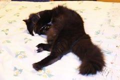 Encontro do gato preto propenso na cama Fotos de Stock
