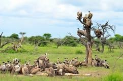 Encontro dos abutres Fotografia de Stock Royalty Free