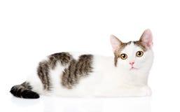 Encontro manchado do gato Isolado no fundo branco Imagens de Stock Royalty Free