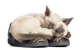 Encontro oriental de dois gatinhos de Shorthair Foto de Stock Royalty Free